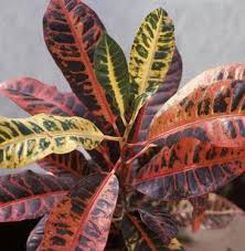 lighting for houseplants. croton needs good light lighting for houseplants i