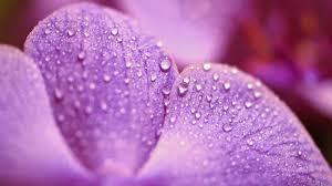 flowers, Water, Drops Wallpapers HD ...