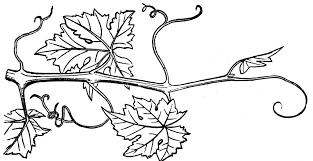grapes clipart black and white. pin vine clipart black and white #6 grapes y