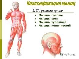 Презентация на тему Строение и работа мышц Строение мышц Мышца  5 Классификация мышц 2 По расположению Мышцы головы Мышцы шеи Мышцы туловища Мышцы конечностей
