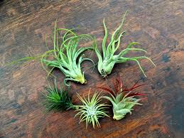 Air Plant Medium Kit | Tillandsias | Air Plant Design Studio