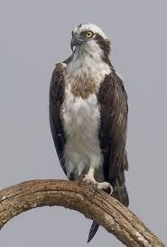 Osprey Wikipedia
