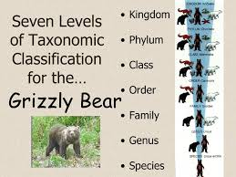 Grizzly Bear Classification Chart Biological Classification Ppt Video Online Download