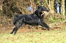 boatswain dog. flat1 boatswain dog