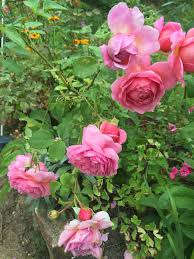 charmaine hardy on twitter good morning friends another nice day here it s really suiting the roses giving them a 2nd flush have a good day x