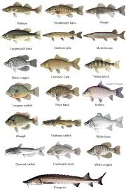 Bass Species Chart Fish Species Of The St Croix River Walleye Smallmouth