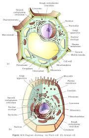 Plant Cells Vs Animal Cells Venn Diagram Plant Cell And Animal Cell Diagram Michaelhannan Co