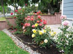 small rose garden in front yard