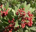 Images & Illustrations of toyon