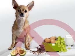 haselnuss giftig für hunde