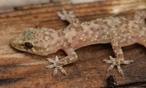 Stream genjer genjer by indoprogress from desktop or your mobile device. Mediterranean House Gecko Species Information And Facts Everything Reptiles
