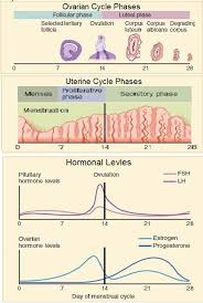Anovulatory Cycle Chart Anovulatory Cycle How To Get Pregnant Naturally Fight