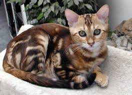 marble bengal cat. Modren Bengal One Of Vida Miau0027s Gorgeous Marble Bengal Males At 3 Months Old And Marble Cat O