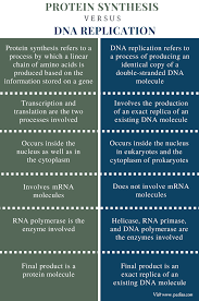 Translation Vs Transcription Venn Diagram Difference Between Protein Synthesis And Dna Replication