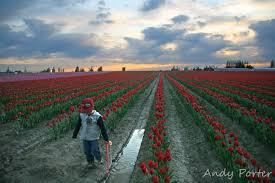 skagit valley tulip festival skagit valley tulip festival kids