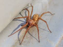 Arizona Spiders Identification Chart Hobo Spider Bite Symptoms Treatment And Stages