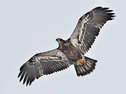 golden eagles flying. Plain Golden Bald Eagle Juvenile Is Similar To Golden And Eagles Flying C
