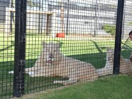 2x4 welded wire fence. Welded Wire Fence A Worker Is Observing The Lions Through 2x4 .