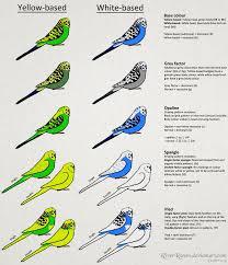 Budgerigar Color Chart Budgerigar Colour Genetics By
