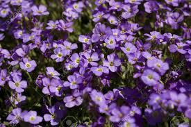 Petites fleurs mauves   Map titecampagne