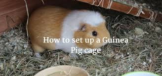 how to set up a guinea pig cage