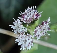 Petasites fragrans Winter Heliotrope