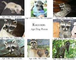 Baby Raccoon Age Chart Care For Baby Raccoons The Arc Animal Rehabilitation Center