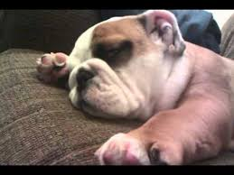 bulldog puppies sleeping. Delighful Sleeping And Bulldog Puppies Sleeping 0