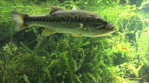 largemouth bass underwater. Simple Largemouth For Largemouth Bass Underwater U