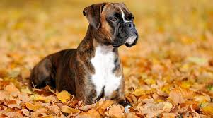 Boxer Puppy Weight Chart Boxer Breed Information Traits Facts Temperament More