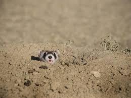 Black Footed Ferret Species Wwf