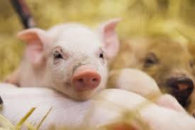 real baby farm animals. Wonderful Baby Piglets Sleep On Top Of Each Other In Real Baby Farm Animals E