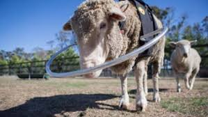the animals voice essays editorial what a blind senior sheep taught me about the complexity and kindness of animals ""