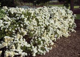 gardenia can be used as a focal point specimen or informal hedge such the