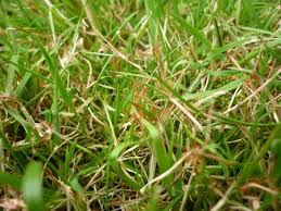 How To Deal With Red Thread Disease On Your Lawn