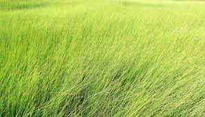 tall grass texture field82 field