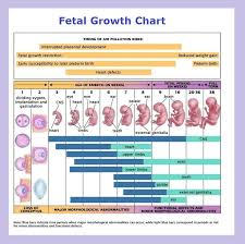 Embryo Chart Growth Fetus Definition Science
