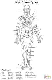 Small Picture Human Skeletal System Worksheet coloring page Free Printable