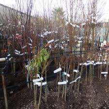 My Edible Fruit Trees Plum Trees WATriple Grafted Fruit Trees