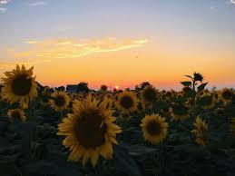 VSCO - sunflower sunset