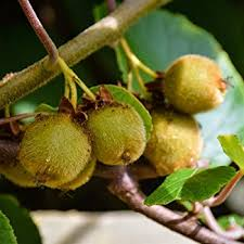 Image result for kiwi fruit tree