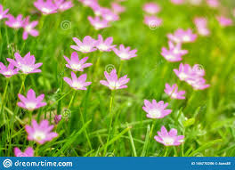 Shining Light Garden Pink Flowers On Grass In The Outdoor Garden There Is A
