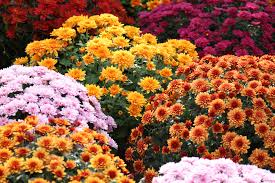 Image result for chrysanthemums