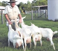 Goats Milk Ice Cream Hinterland Times Local Stories Local