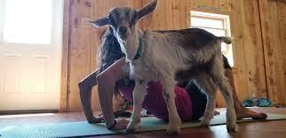 goat yoga at autumn ridge cotes
