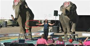 he doented that there were calluses on the elephants elbows as well as immediately in front of the knees these are caused by a long standing practice
