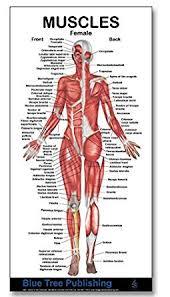 Woman Anatomy Chart Muscle Charts Female Muscle Mini