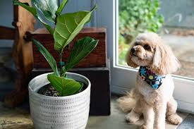popular houseplants that are toxic to dogs