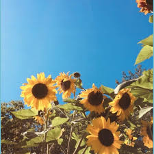 Cute Aesthetic Sunflower Wallpaper ...