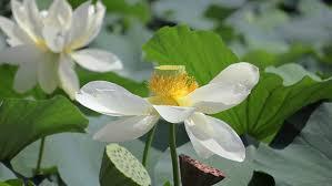 Lotus Fruit Tree